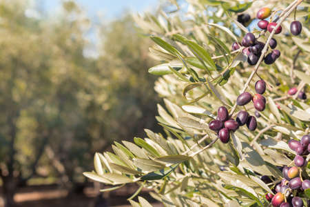 closeup of black Spanish olives ripening on olive tree with blurred background and copy space