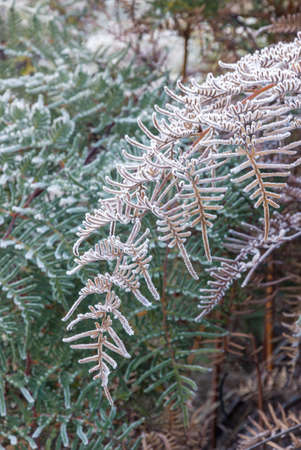 closeup of hoar frost covered bracken leaves background