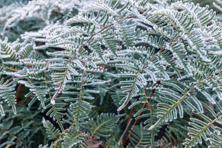 closeup of bracken leaves covered in hoar frost ice crystals