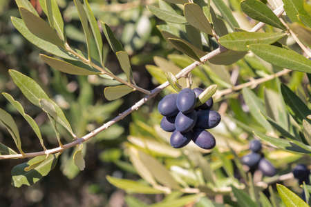 closeup of ripe black Spanish olives on olive tree branch with blurred background