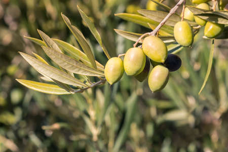 closeup of ripe green Spanish olives on olive tree branch with blurred background and copy space