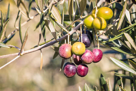 closeup of ripe and unripe black olives on olive tree branch with blurred background and copy space 스톡 콘텐츠