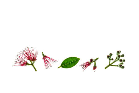 New Zealand Christmas tree flowers and buds isolated on white background with copy space above
