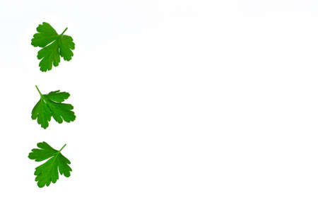 closeup of chopped parsley leaves on white background with copy space on right