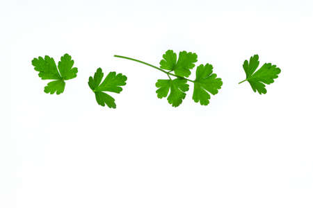 freshly picked Italian parsley leaves isolated on white background with copy space below