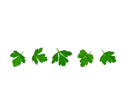 row of fresh Italian parsley leaves isolated on white background with copy space above 스톡 콘텐츠