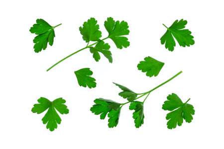 flat-leaved parsley leaves isolated on white background