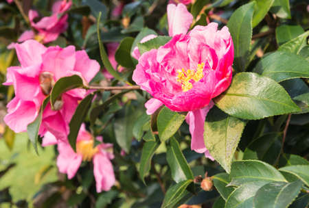 closeup of pink camellia flowers in bloom with blurred background and copy space