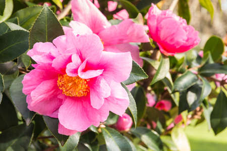 detail of pink camellia sasanqua flowers in bloom with blurred background
