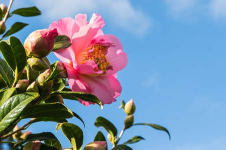 closeup of a pink camellia flower against blue sky with copy space on right 스톡 콘텐츠