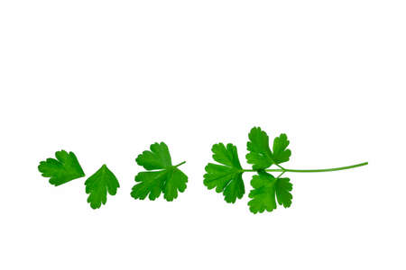 set of fresh green Italian parsley leaves arranged in a row on white background with copy space 스톡 콘텐츠