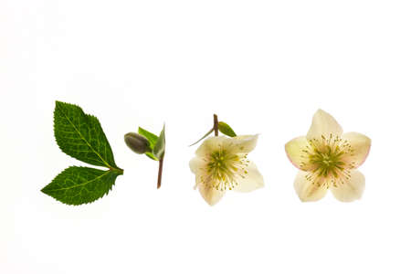yellow hellebore flowers, bud and leaves arranged on white background with copy space 스톡 콘텐츠