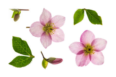 pink hellebore flowers, buds and leaves background