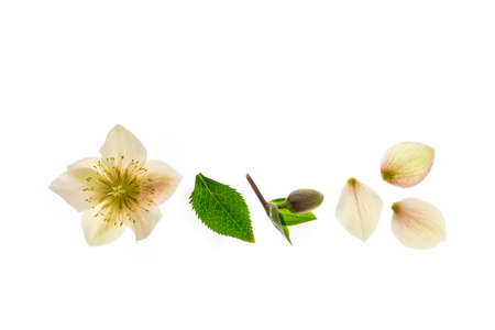 yellow hellebore plant flower isolated on white background with copy space above