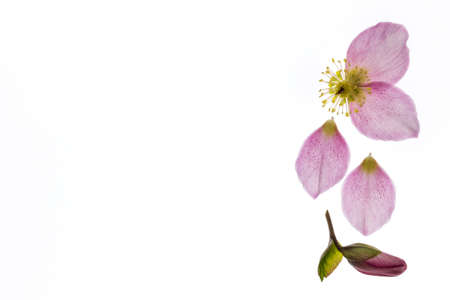 closeup of pink hellebore flower isolated on white background with copy space on left