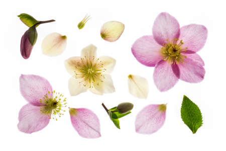 pink and white hellebore flowers on white background