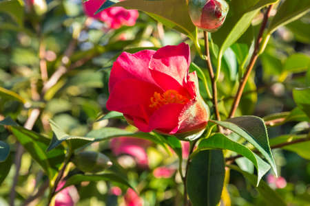 closeup of red camellia flower bud with blurred background and copy space