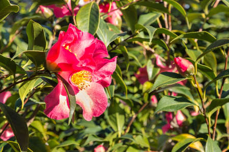 red sasanqua camellia bush with flowers in bloom and blurred background 스톡 콘텐츠