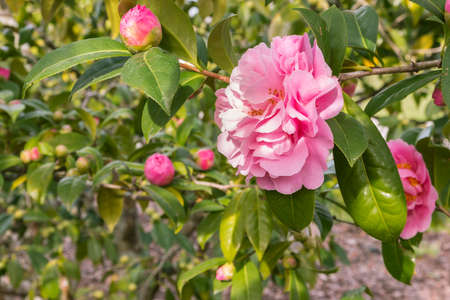 closeup of double-flowered pink camellia flower in bloom with blurred background and copy space