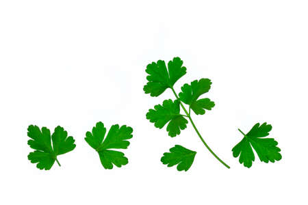 freshly chopped parsley leaves isolated on white background with copy space 스톡 콘텐츠