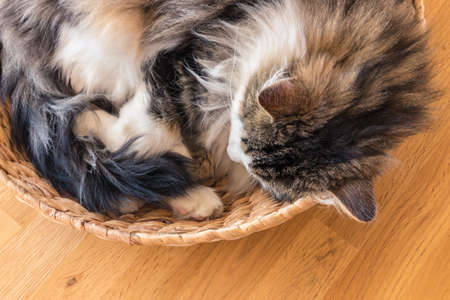 tabby cat sleeping in a wicker basket on wooden floor with copy space 스톡 콘텐츠