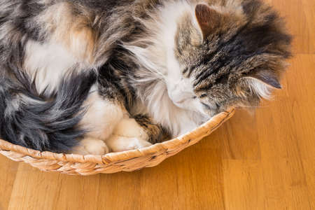 tabby cat resting curled up in a wicker basket on wooden floor