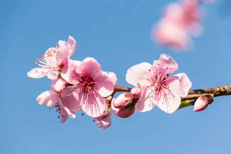 peach tree twig with pink flowers in bloom against blue sky with copy space and blurred background