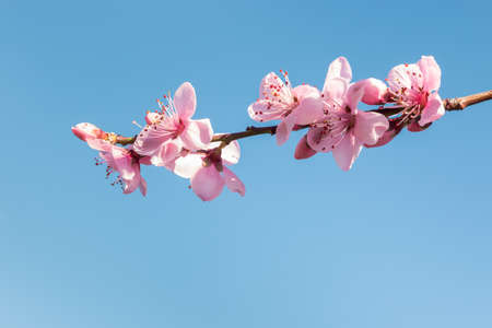 pink peach tree flowers in bloom isolated against blue sky with copy space