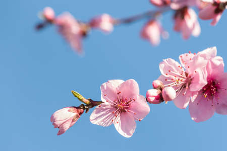 closeup of peach tree flowers and buds isolated against blue sky
