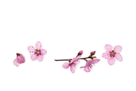 closeup of nectarine flowers in bloom isolated on white background with copy space above