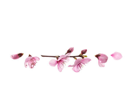 closeup of sakura cherry flowers in bloom isolated on white background with copy space above