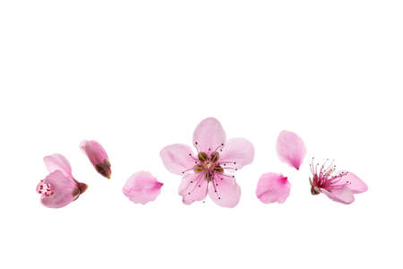 isolated peach tree flowers in bloom on white background with copy space above