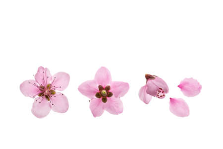closeup of nectarine tree flowers in bloom isolated on white background 스톡 콘텐츠