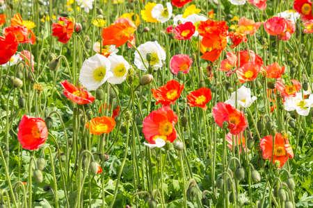 colourful Welsh poppy flowers in bloom field background
