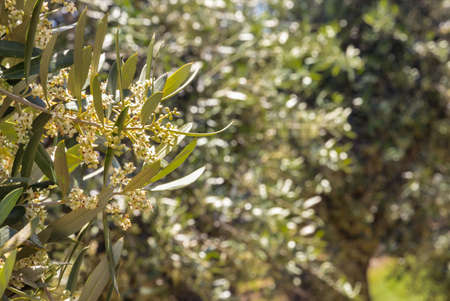 olive branch with flowers in bloom and blurred olive trees in background
