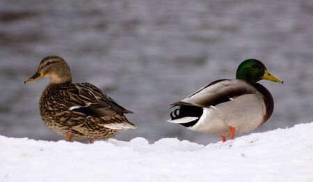Male and female ducks stand on snow