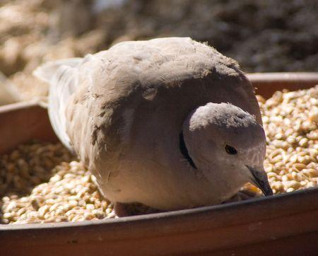 Bird on bowl pecks grain on sunny morning Stock Photo