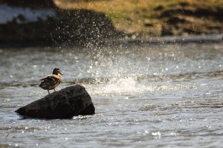 Duck stands on stone and watch fishes
