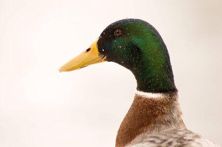 Head of duck with raindrops in rain