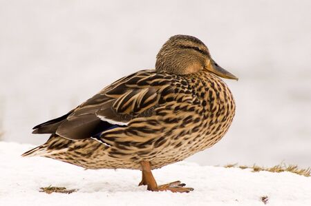 Duck stand on snow, cold weather and wind