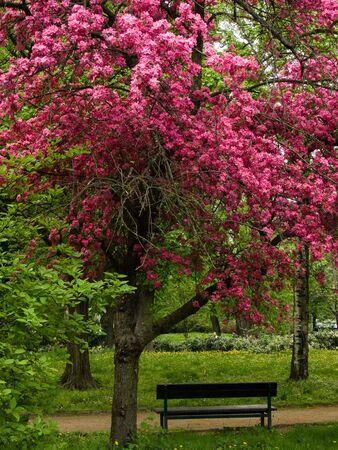 Bench under tree with blossom, idyllic scene. Stock Photo