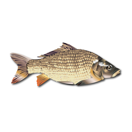 Fish realistic isolated on white background vector illustration