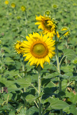 Sunflower in the farm at noon photo