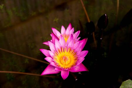 Pink lotus or Pink water lily on the pond photo
