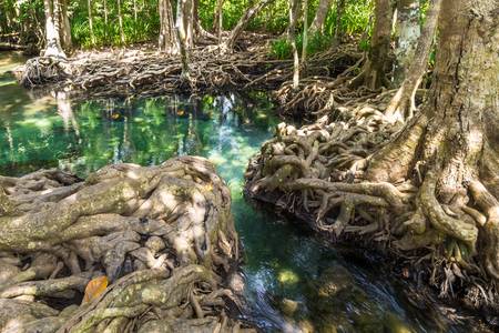 thapom: Crystal and fresh stream at the mangrove forest, Krabi, Thailand
