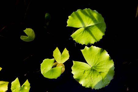 Lotus leaves float on the pool. High contrast lotus leaves photo