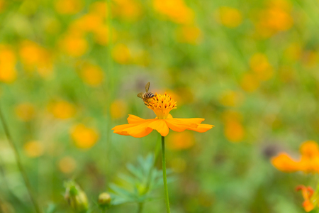 Sulfur Cosmos flower with natural background, Bee walk on pollen, Bee work for honey, Blur background Stock Photo