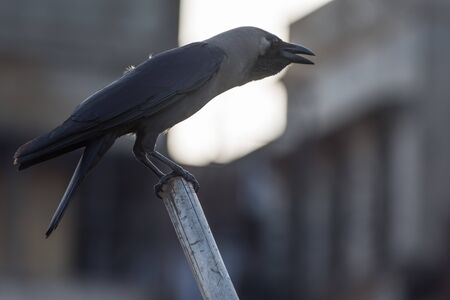 dark grey crow on stick watching cremation along Ganges river