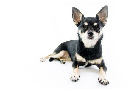 Black and Tan Chihuahua  photo