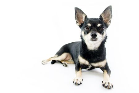 Black and Tan Chihuahua